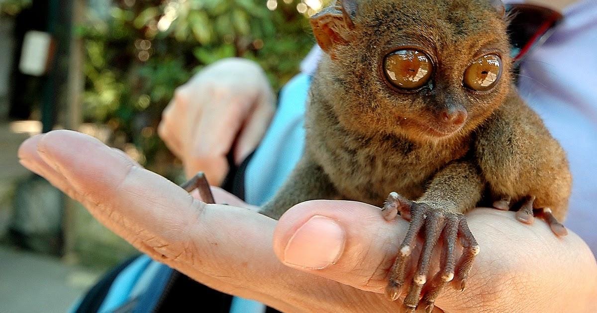 khi-tarsier-bohol-rung-man-made